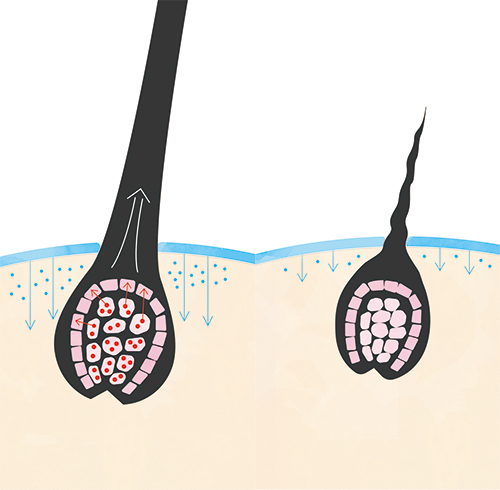 育毛の説明図。